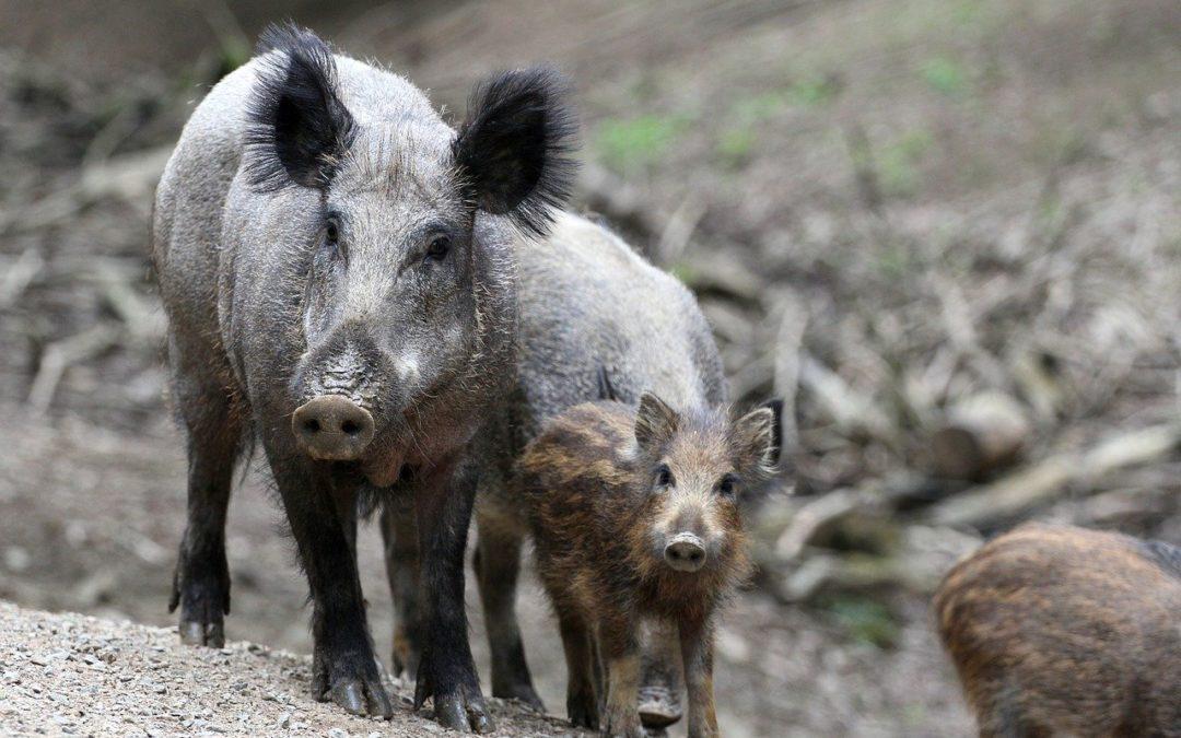 Afrikanische Schweinepest: Schnelles Handeln und sofortige Unterstützung erforderlich