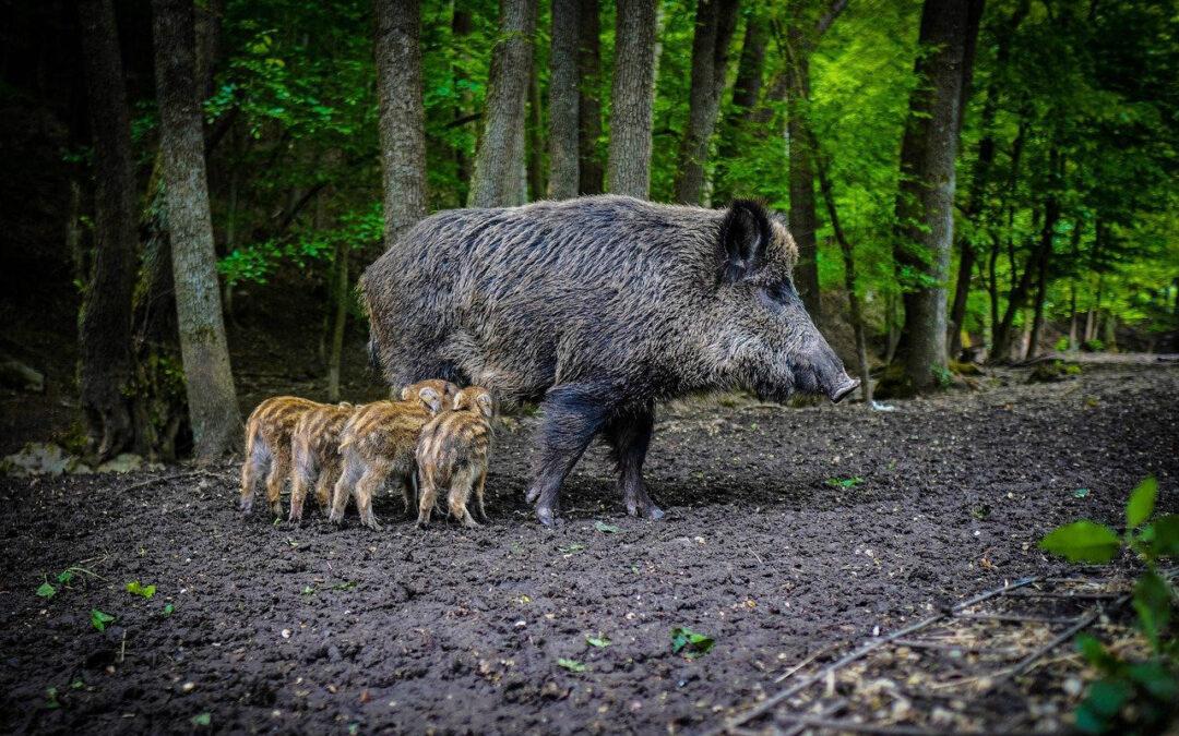 BVB / FREIE WÄHLER fordert Fristfestlegung für ASP-Entschädigungen von Waldbesitzern und ASP-Impfstoff